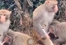 Photo of Female monkey spotted giving 'Blowjob' to a male monkey publicly